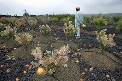 Protea plants damaged by vog have cost farmers in Ocean View, on average, 40 percent of their household income. (photo credit: Chris Stewart, the Chronicle)